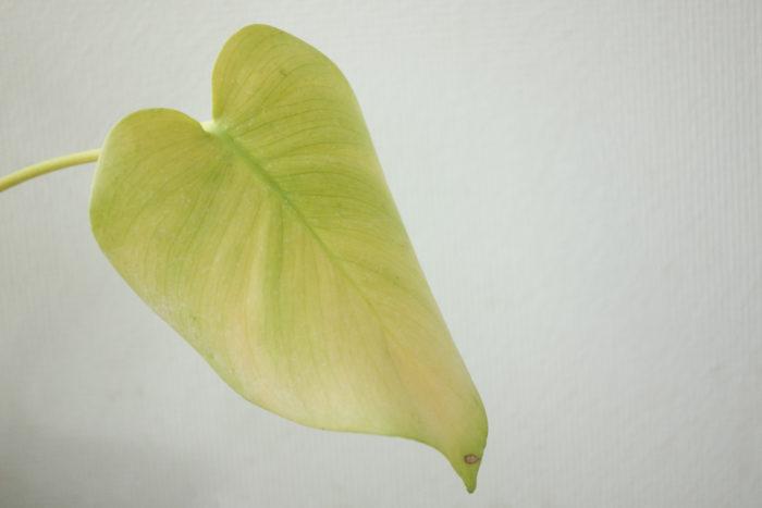 若い葉が黄色く変色してしまった…どうすればいいの?