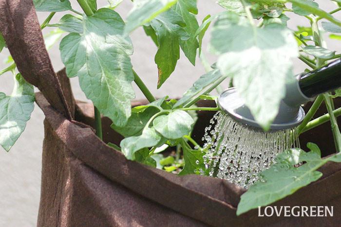 他の作物と比べてミニトマトは、水分を控えめに育てると甘みが増します。水は土が乾いたら、鉢底から流れ出るまでたっぷり与えましょう。  梅雨時期は雨が降ると身が割れたり、病気になりやすいので、軒下に移動するのがおすすめです。  夏の暑い時期は午前中の涼しい時間帯に水やりをするのがベスト。