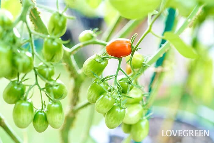 上段の実から徐々に赤く色付いてきました!赤くなったとは言え、どのくらいで収穫して良いか判断が難しいですよね。  ミニトマトの収穫時期の目安は、ヘタの周りまで真っ赤で、ふれると簡単に枝からとれる状態。