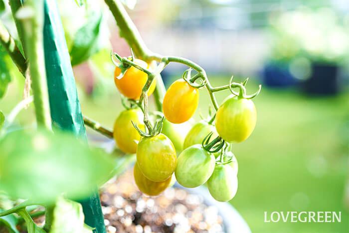 一緒に育てていた純あまオレンジも色付いてきました。  赤い実と比べて少し収穫時期の判断が難しいのですが、ふれると簡単に枝からとれる状態を目安に収穫しましょう。