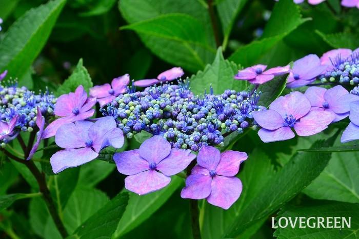 ガクアジサイは日本原産のアジサイ。アジサイの花のように見える部分は、ガクが変化した装飾花と呼ばれるものです。ガクアジサイは額縁のように花の周りに装飾花があります。日本原産の植物なので、丈夫で育てやすいアジサイです。