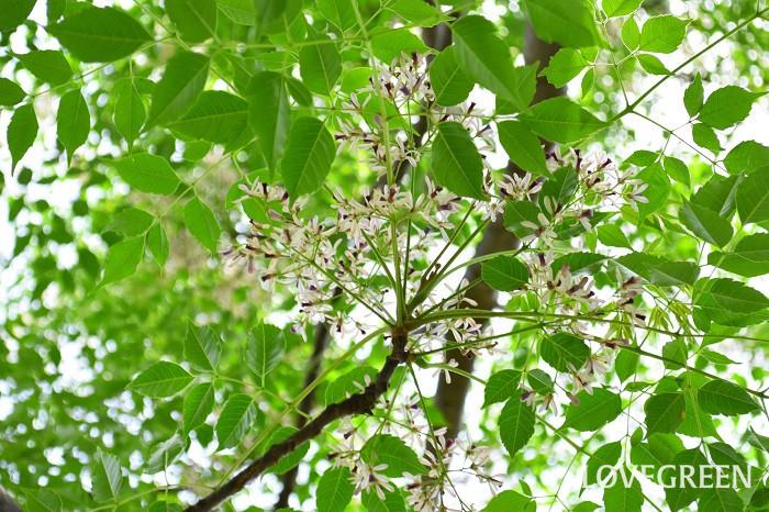 センダンの花の時期は、初夏の5月~6月。花びらの外側としべのあたりが紫色、花びらの内側が白なので、つぼみの時は木一面が紫色、開花ともに淡い紫色に見た目の色合いが変化していきます。花の後には実がなり、実つきの枝もの花材として流通があります。