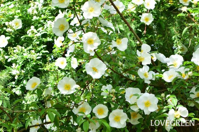 ナニワイバラは中国原産の常緑のつる性植物で、原種のバラのひとつです。花は一季咲きで、純白の一重の5枚の花弁で黄色い目立つ雄しべの花が、枝一面に開花します。花の開花はバラの中では早咲きで、4月後半から開花が始まります。秋の実も美しく、見ごたえがあります。とてもよく伸びる性質なので広いスペースに植栽するのに向き、生垣などにも利用されています。