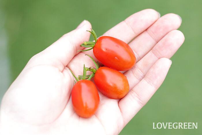 今日は3つのミニトマトを収穫。朝ごはんに添えたり、夕方小腹が空いた時に食べるのもいいですね!  実際に食べてみたらビックリ!完熟していてとても甘みが強く、美味しかったです♫