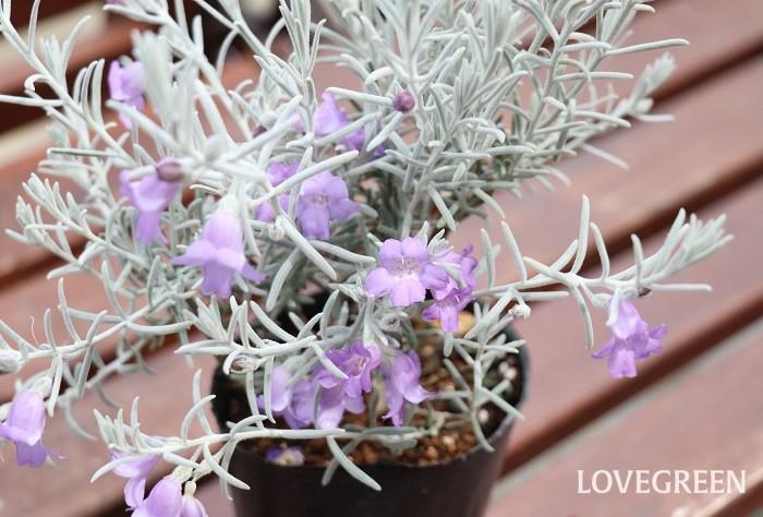 エレモフィラ・ニベアは最もポピュラーな品種です。ふわふわとした質感のある細い小さな葉を持ち、淡いラベンダー色をしたベル状の花を咲かせます。寄せ植えにもよく使われます。