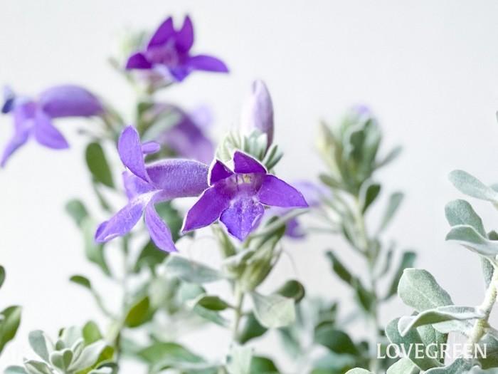 エレモフィラ・トビーベルは、エレモフィラ・ニベアより少し濃いブルーをした大きめの花を咲かせます。葉は平べったい小葉で、ニベアほど毛が密でないため、ニベアよりはやや緑色のシルバーリーフです。ニベアと比べると四季咲き性が強い性質があります。