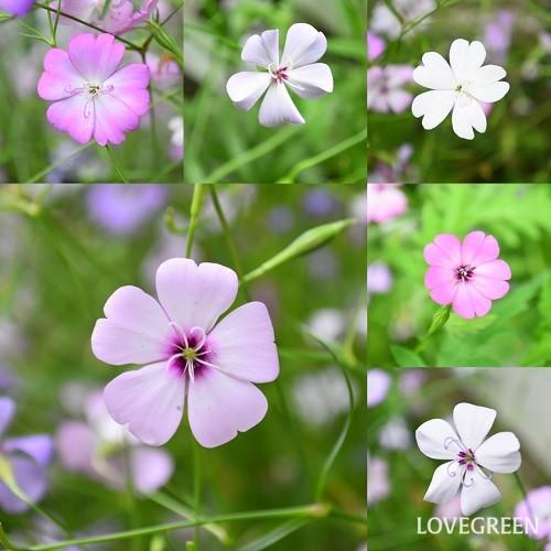 ひとつひとつの花色やしべの様子に個体差があって、見ていて飽きません。素敵だなと思った花の種を取るようにしていますが、翌年咲くとまた違ったりするので(交雑するんでしょうか?)、それもまたよし。毎年その繰り返しです。
