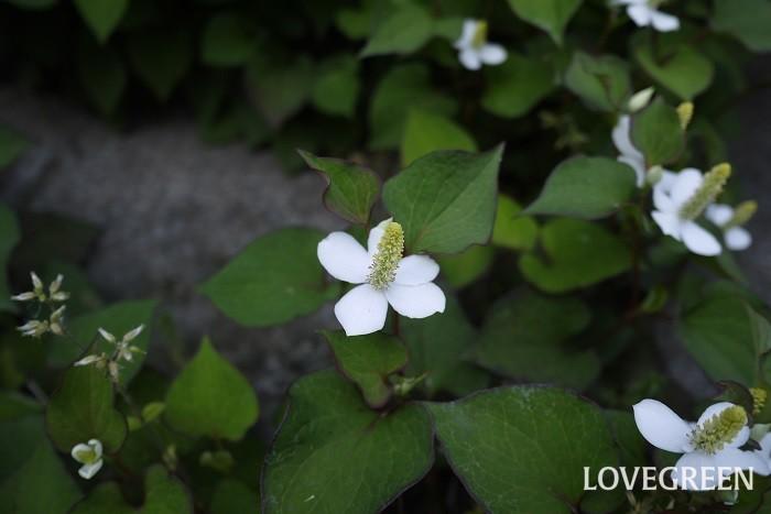 学名:Houttuynia cordata 科名、属名:ドクダミ科ドクダミ属 分類:多年草 ドクダミの特徴 ドクダミは全草に独特の臭いを持った多年草です。葉茎を摘んだり、傷つけたりすると悪臭とも言うべき臭いを放ちます。ドクダミのこの独特な臭いは葉茎だけでなく、花にあります。  ドクダミと言えば悪臭のようなイメージですが、よく見るとなかなかに可愛らしい植物です。ドクダミはスペード形の濃いグリーンの葉を持ち、真白で可愛らしい花を咲かせます。  ドクダミは半日陰から日陰の湿地を好みます。地下茎を縦横無尽に張り巡らせ、辺りを埋め尽くすように繁茂するので、気がつくと裏庭がドクダミだらけだったということになりかねません。