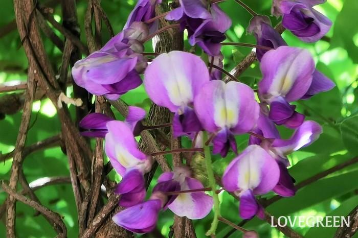藤の花の特徴は、房のような花を下垂させて咲かせるところです。この房のように見えるのは小さな花の集合体で、一つ一つは直径2㎝程度のマメの花です。  つるの先に垂れ下がるように咲く藤の花は、風が吹く度にたおやかに揺れ、見ているものを魅了します。  藤の花はその優美さから古来より日本人に愛され、美しい女性の例えにも使用されてきました。歌舞伎や日本舞踊でも有名な「藤娘」は、藤の花の精が美しく舞う演目です。
