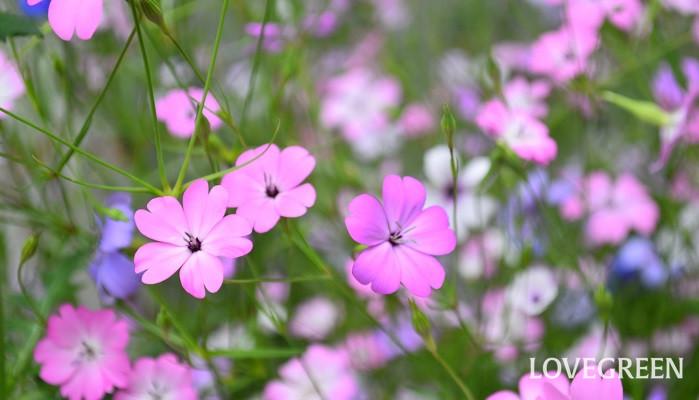 パラパラと種をまいたあとは発芽を待つのみ。手に入りやすい種なら、1袋200~300円くらいで手に入ります。芽が出てくるまで、発芽した瞬間、初めての一番花から満開になる過程と、苗から育てた時とは違った喜びを味わえます。