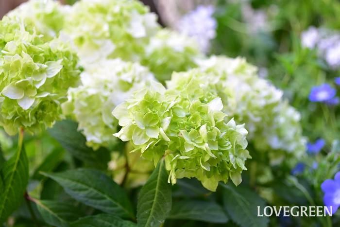 ヤマアジサイは、日本各地で自生している野生種のアジサイです。アジサイに比べると枝が細く、枝先に小さな花がたわわに咲く姿は素朴さと可憐さを感じます。葉もアジサイに比べると小ぶりのサイズです。