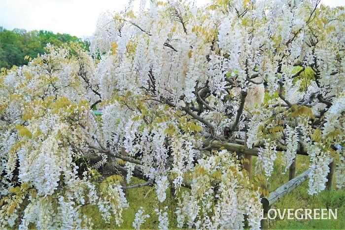 藤の種類を紹介します。身近なところで見かける藤の花の多くは、ノダフジかヤマフジです。ノダフジとヤマフジの特徴と見分け方も紹介します。  ノダフジ 学名:Wisteria floribunda ノダフジは日本原産の藤です。花序と呼ばれる房状の花の部分は30㎝~60㎝程度。中には1mを越すものもあります。  山野に自生します。つるは左肩上がりの左巻き、長さは20mを越すほど大きくなります。  花色は淡い紫色の他に、紫、ピンク、白など。改良品種に八重咲き種のような変わり咲きのものもあります。  ヤマフジ 学名:Wisteria brachybotrys ヤマフジも日本固有の藤です。一つ一つの花はノダフジよりも少し大きく2.5㎝くらいあります。花序の長さは10~20㎝程度と短めです。  近畿地方以西の本州、四国、九州に自生します。つるは右肩上がりの右巻き、長さは20mを越すほど大きくなります。  花色は淡い紫色の他に、紫、ピンク、白など。花序が短く、上の方の花から先端の花までほとんど時間差なく咲くので、たわわに花を咲かせているような印象を受けます。  シナフジ 学名:Wisteria sinensis 中国原産の藤です。花の直径が2.5㎝程度と大きめで、花序は15~30㎝程度です。つるの巻き方は左巻きで、長さはは10m以上、20mにもなると言われています。  花色は淡い紫色の他に、紫、白などがあります。シナフジは中国では「紫藤」と書きます。  アメリカフジ 学名:Wisteria frutescens アメリカ原産の藤です。花の直径は2㎝、花序は10㎝程度と、日本の藤よりも短めです。花の密度が高いのが特徴です。つるの長さも5m未満と短めです。花色は薄紫やピンクなどがあります。  ノダフジとヤマフジの特徴と見分け方 花の特徴と見分け方です。つるの巻き方で見分ければ、花が咲いていない時期でも区別がつきます。