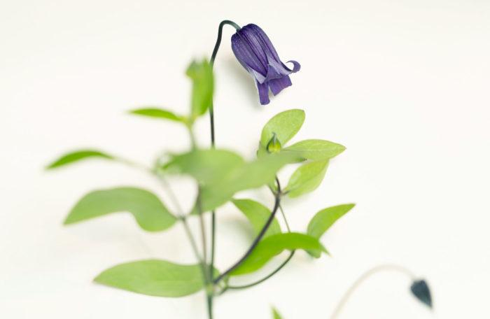 凛とした可憐な花姿のベル咲きクレマチス。花色は、紫、青、白、黄色、ピンクなどがあります。ガーデニングでも人気の品種なので、剪定して生けてみるのもいいですね。