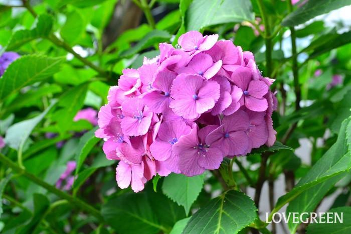 ガクアジサイが西洋に渡り、品種改良を重ねられできた西洋アジサイ。流通上では、アジサイと言えば西洋アジサイのことをさすのが一般的です。切り花だと「ハイドランジア」という名前で呼ばれることも多く、輸入物のアジサイの切り花も流通しています。