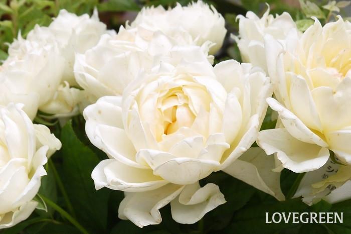 代表的な切り花の種類と長持ちさせる方法を4種紹介します。  バラ 水揚げ方法:基本の水揚げ 使用道具:ハサミでもナイフでも可 花瓶の水の量:1/3~1/2程度 バラは気温が上がってくると傷みやすくなる花です。水の中でバクテリアが発生するのを防ぐためにもこまめに水を替えるようにしましょう。  ▼バラの生け方について詳しくはこちら  p123710  アジサイ 水揚げ方法:基本の水揚げ+中綿を取る 使用道具:ナイフ 花瓶の水の量:1/2~1/3 アジサイは水揚げの際に茎を斜めに大きくカットして、中に入っている白い綿を取り除きます。さらに茎の断面は、ナイフで大きく斜めにカットしましょう。この一手間でぐんと水の吸い上げが良くなります。  ▼アジサイの生け方について詳しくはこちら  p99498  ガーベラ 水揚げ方法:基本の水揚げ、湯上げ 使用道具:ハサミでもナイフでも可 花瓶の水の量:1/3よりも少なめ ガーベラは茎が腐りやすい花です。花瓶の水は少なめで生けましょう。また、茎の中でバクテリアが発生し、傷んでしまうこともあります。切り口の鮮度を保つようにすること、茎の中は茶色く傷んでいたら、切って取り除くことが長持ちさせるコツです。  球根類 水揚げ方法:基本の水揚げ 使用道具:ハサミでもナイフでも可 花瓶の水の量:1/3よりも少なめ 球根は茎にたくさんの水分を含んでいるので、茎が腐りやすい傾向にあります。花瓶の水は少なめにしましょう。切り口の鮮度を保つように水換えの度に少しずつ切り戻すことも大切です。