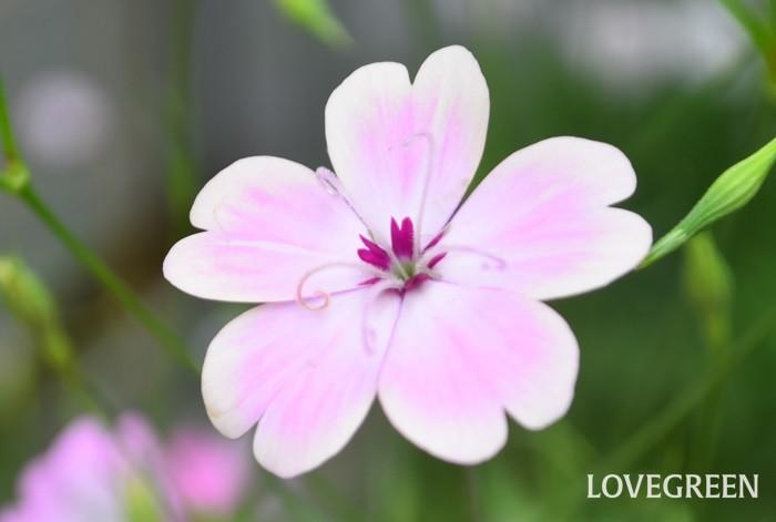 もうひとつ、ビスカリアの素敵だなと思うところは花の終わり。写真のように色だったり、ベージュだったりと、きれいに花色が抜けていくことです。その翌日、花びらがくるんと丸まって終わりになっていきます。散る花ではないのですが、散り際が素敵な花に魅力を感じます。
