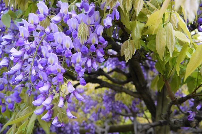 藤の花言葉を紹介します。  優しさ 歓迎 たおやかで美しい藤の花らしい花言葉です。