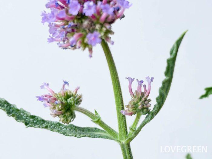 花が丸く集まっていて、遠くから見ても可愛らしいのですが、1つ1つの花の形がしっかりしているので、近くで見ても花の生長を楽しめます。淡い紫〜ピンクのグラデーションにもうっとり。