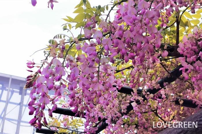 藤の花には毒はありません。藤の花を触ったり、摘んだりしても毒に当たるようなことはありません。藤の花は洗って天ぷらにして食べることができるくらいです。  藤の中で有毒成分が含まれるのは、豆の部分です。藤は花が終わった後に豆をつけます。この藤の豆を生食すると中毒症状を起こすことがあります。