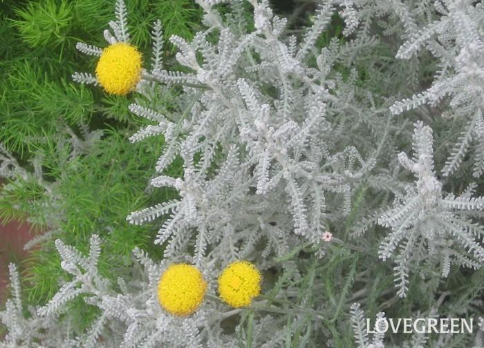 おすすめポイントと特徴  サントリナは細かい葉が綿毛におおわれていて、株全体が一年中銀白色に見えます。葉をさわると特有の香りがします。長い花茎が伸びて5~7月頃に球形の黄色い花が咲きます。茎葉を乾燥させると、リースやポプリ、虫よけなどに使うことができます。  育て方のコツ  サントリナは日なたと乾燥気味の用土を好みます。春と秋に丈を半分に刈り込むと蒸れを防ぎ、風通し良く育てられます。