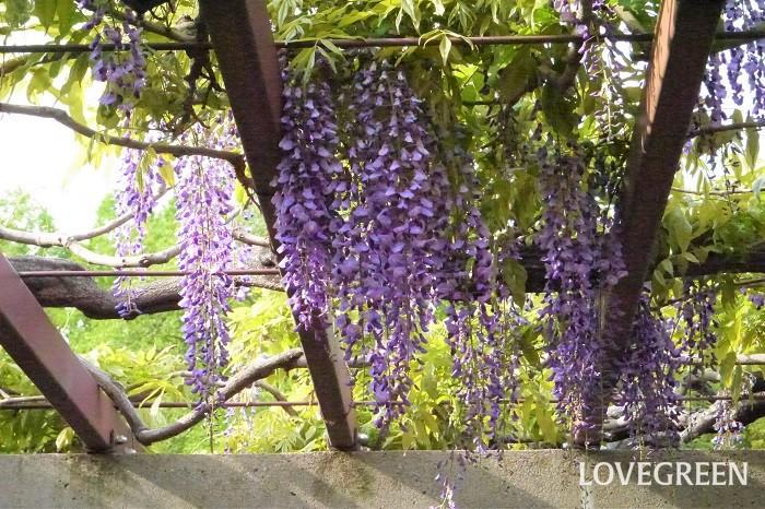 学名:Wisteria floribunda(ノダフジ) 学名:Wisteria brachybotrys(ヤマフジ) 科名、属名:マメ科フジ属 分類:落葉つる性木本 藤の特徴 藤はかんざしのような長い花を下垂させて咲く、マメ科のつる植物です。日本原産の花木で、その美しさから世界中で愛され栽培されています。  藤はつる植物ですが、朝顔やクレマチスと違い、生長すると幹は太くなり木質化します。草花ではなく、つる性の花木です。  つる植物である藤の特性を活かして作られた藤棚は、公園や庭園、遊歩道など身近な場所にあります。
