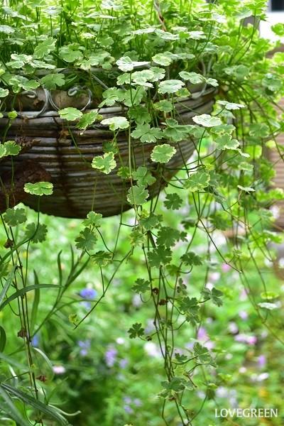 今年のハンギング。すっかり主役と脇役が逆転してしまいましたが、これはこれで気に入っています。そろそろクレマチスを救出した方がよいかもしれませんね。  水切れさえ注意していれば、育て方はとても簡単な斑入りチドメクサ。明るい斑で隣の植物を引き立ててくれるおすすめの植物です。