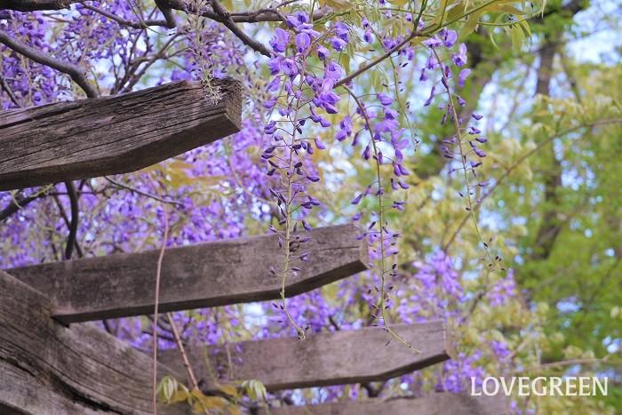 藤(フジ)の花の香り 藤の花には芳香があります。藤の花の香りを言葉で説明するなら、爽やかというよりは甘く、かと言ってクチナシやチューベローズほど濃厚ではないといった感じです。ジャスミンをもう少し軽くしたような香りです。  藤の花は上の方で咲いているので、なかなか鼻を近づけて香りを確認するのは難しいかもしれませんが、満開の藤棚の下にいるとふわりと甘い香りが漂ってくることがあります。  藤(フジ)の花の特徴 藤の花の特徴は、房のような花を下垂させて咲かせるところです。この房のように見えるのは小さな花の集合体で、一つ一つは直径2㎝程度のマメの花です。  つるの先に垂れ下がるように咲く藤の花は、風が吹く度にたおやかに揺れ、見ているものを魅了します。  藤の花はその優美さから古来より日本人に愛され、美しい女性の例えにも使用されてきました。歌舞伎や日本舞踊でも有名な「藤娘」は、藤の花の精が美しく舞う演目です。