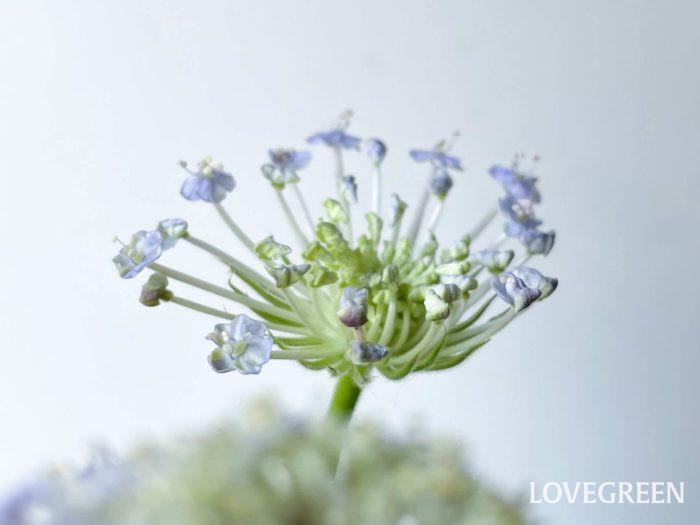 似たような名前でレースフラワーという植物がありますが、全くの別種です。花の集合体の大きさがレースフラワーは10~15㎝程あるのに対して、ブルーレースフラワーは5㎝程。  また、ブルーレースフラワーという名前で呼ばれていますが、白やピンクの花色もあります。その場合、ブルーレースフラワーのホワイト、ブルーレースフラワーピンクと表記します。
