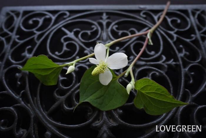 悪臭のイメージばかりが先行しているドクダミですが、実はとても可愛らしい花を咲かせます。ドクダミの花は初夏5月頃から夏にかけて咲き誇ります。  ドクダミの白い花びらのように見える部分は実は葉が変化した総苞片で、花は中心の突出した黄色い部分のみです。ただし便宜上この白い総苞片を花と呼んでいます。  身近な場所に自生しているドクダミの花は多くは花びらのような総苞片が4~5枚の一重咲きですが、ドクダミには八重咲き種もあります。八重咲きのドクダミはおよそドクダミの花とは思えない、原種のバラのような可愛らしさです。さらに葉が複色のドクダミもあります。  ドクダミの花は、白い総苞片の中心に突起した黄色い花がとても印象的です。薄暗い日陰でも花をたくさん咲かせるので、景色を明るくしてくれます。  ドクダミを1輪、小さな花瓶に生けるだけで楚々とした風情が楽しめます。摘み取ると臭いが気になりますが、水に浸けてしまえば悪臭はしません。お庭にドクダミが咲いたら、生けて楽しんでみてはいかがでしょうか。