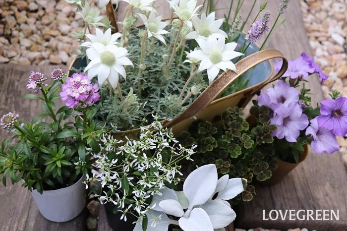 ユーフォルビア・ダイアモンドフロストは、切り花で言うところの「カスミソウ」のような存在です。寄せ植えに使うとどんな花とも合い、メインの花を引き立たせ、涼し気な爽やかさをプラスしてくれます。