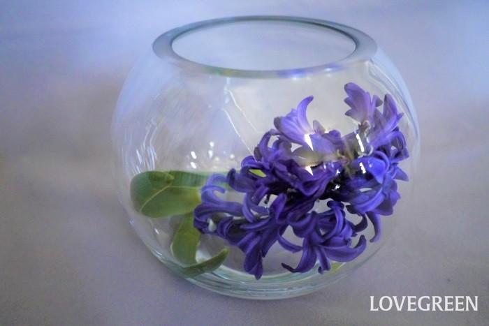 水揚げ方法:基本の水揚げ 使用道具:ハサミでもナイフでも可 花瓶の水の量:1/3よりも少なめ 球根は茎にたくさんの水分を含んでいるので、茎が腐りやすい傾向にあります。花瓶の水は少なめにしましょう。切り口の鮮度を保つように水換えの度に少しずつ切り戻すことも大切です。