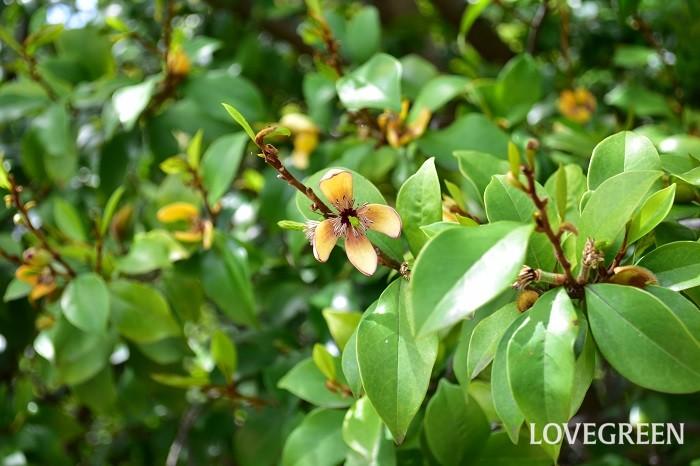 カラタネオガタマはモクレン科の樹木で、花もモクレンに似た花を咲かせますが、モクレンよりは小輪です。品種がいくつかあって、花の色はクリーム色や紫色、ワインレッドなどがあります。