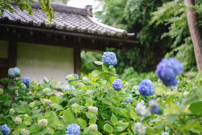 先日訪れた北鎌倉の明月院では、淡い水色の紫陽花が美しく咲いていました。静かに心に迫ってくる佇まい。雨に濡れる姿もとても風情があります。