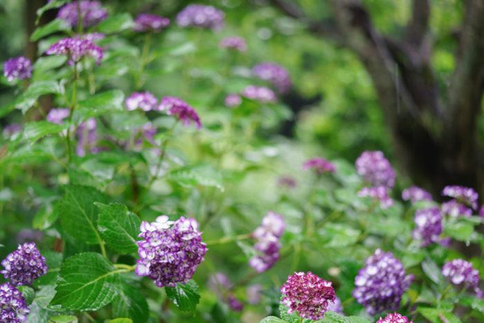 5月下旬からは一足早く、雨の日が多くなってきましたね。  そんな中、街のいたるところで紫陽花が綺麗に咲きはじめました。私の住まいのある鎌倉では、お寺に紫陽花が植えられているところも多いので、紫陽花のある風景を楽しむことができます。