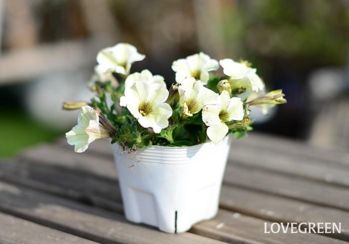 ペチュニアは、ナス科の非耐寒性一年草(多年草)。春から秋まで長い期間咲き続けます。