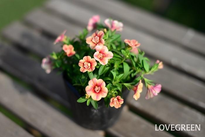 カリブラコアは、ナス科の非耐寒性一年草(多年草)。ペチュニアの近縁種。ペチュニアより花が小さ目で繊細です。花期は5月~10月頃。ペチュニアと同じく長雨に当たると花が傷みやすいので、雨が続く時は屋根のある場所に移動すると美しく保てます。