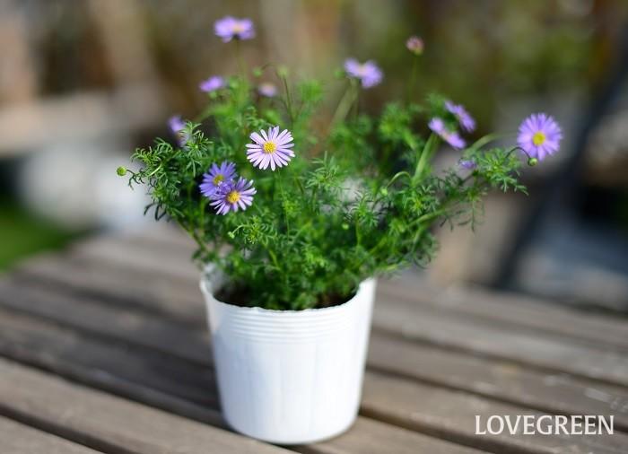 ブラキカムは、紫、白、黄色などのデージーに似た小さな花を咲かせる植物。一年草と多年草がありますが、園芸種としては多年草が多く出回っています。春から秋までの長い期間、可憐な花を次々と咲かせます。  過度な加湿に弱い性質があるので、高温多湿の季節は風通しの良い半日陰で管理するのがおすすめ。また、寒さにはそれほど強くないので、霜に当たらないように注意しましょう。