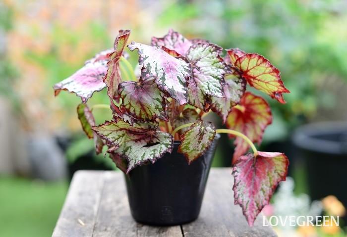 レックスベゴニアは、赤、紫、シルバー、銅葉色、グリーンなど様々な葉色や葉の形を楽しむ観葉植物です。葉色は少々奇抜だったり、微妙なニュアンスカラーが特徴的です。  半日陰と保水性のある用土を好みます。水切れすると葉色が悪くなり、過湿すぎると根腐れをおこしやすいので、乾いたらたっぷり水やりすることが大切です。茎が折れやすいので、植え付けの時に少し注意しましょう。  寒さに弱いので、寒くなる前に室内に取り込むと観葉植物として楽しむことができます。