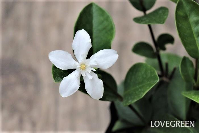 セイロンライティアは、5月~11月頃に白い清楚な花を次々と咲かせます。スリランカ原産の低木で、夏の花木として親しまれています。日当たりから半日陰を好み、高温多湿に強い性質です。  寒さに弱いため、日本では一年草扱いされることも多いですが、室内の明るい窓辺に取り込むと翌年も花を咲かせます。