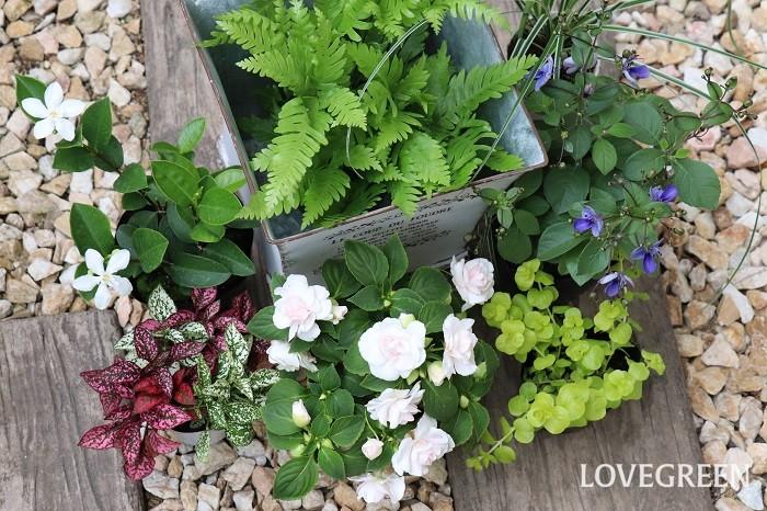 それでは、6月の寄せ植えにおすすめの草花を紹介していきます。花期が長いもの(紫陽花以外)や、真夏は半日陰くらいの方が美しく育つものを集めました。上手に夏越しさせて秋までたっぷり楽しみましょう!