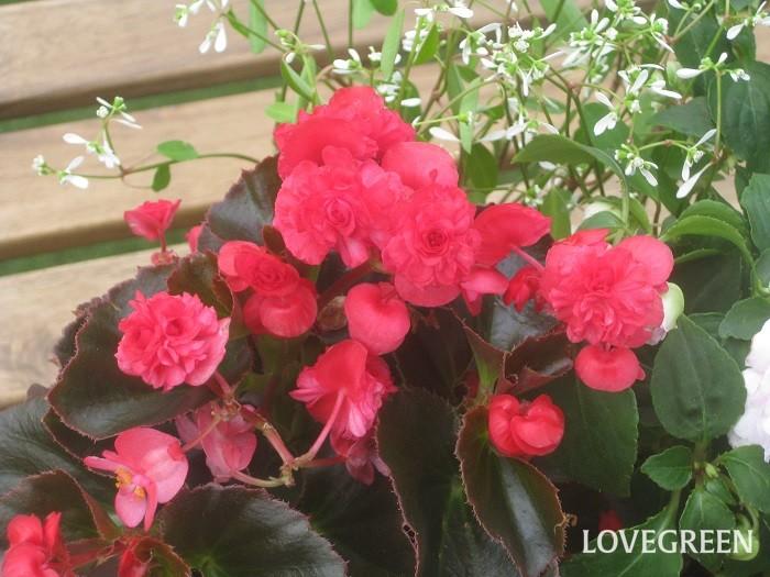 ベゴニア・ダブレットの花色は、淡いピンク、ローズピンク、赤、白などがあります。葉色は緑色や銅葉色があり、銅葉色の葉は寄せ植えに使ったときに全体を大人っぽく引き締めるアクセントカラーにもなります。