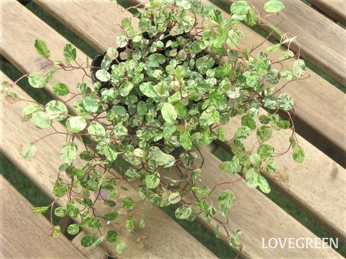 ワイヤープランツは、小さな丸い葉がふんわりと広がる可愛いカラーリーフ。ワイヤープランツという名前の通り、細いワイヤー(針金)の様な赤茶色の茎が特徴的です。中でもスポットライトという品種は、葉に白、クリーム色、ピンク色の斑がマーブル状に入ったニュアンスカラーのワイヤープランツです。周年葉色が美しいですが、特に新芽の葉色がカラフルで明るい色合いになります。刈り込みを繰り返すことで、新しい芽が次々と出て密に茂り、葉色の美しさも保てます。