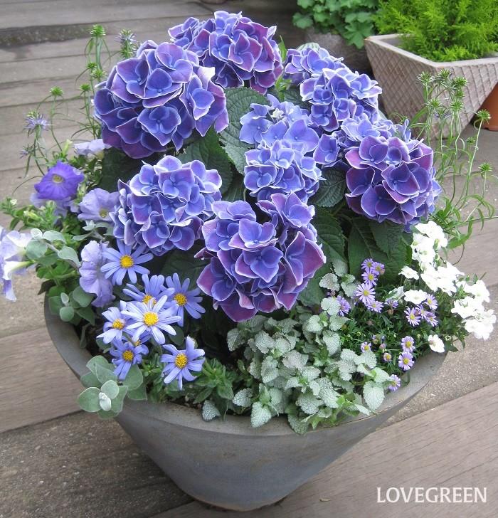 6月といえば紫陽花(アジサイ)の季節。様々な品種の紫陽花が豊富に出回ります。紫陽花を使って季節感たっぷりの寄せ植えを作るのもおすすめです。  写真の寄せ植えは、紫陽花をメインに、ブルー×ホワイトの草花を集めています。少し紫陽花のボリュームを減らして他の草花とのバランスをとるには、山紫陽花(ヤマアジサイ)などの小さなサイズの紫陽花を使ってもいいですね。  紫陽花の花が終わった後は、その代わりにインパチェンスなどの秋まで咲く花を植えると長く楽しめます。紫陽花は花後すぐに剪定をして、別の鉢に植えて来年の開花を待ちましょう。  寄せ植えに使った草花  紫陽花(アジサイ) ブルーデージー ブラキカム アレナリア・モンタナ ラミウム ヘリクリサム・ペティオラレなど