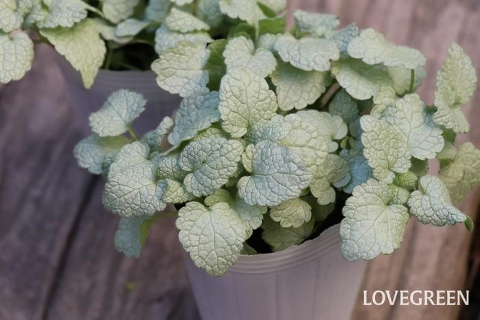ラミウムは、シルバーや白の斑入りの美しい葉をもつカラーリーフです。初夏にサルビアに似た花穂を伸ばして小さな花を咲かせます。花色は白、ピンク、黄色、紫などがあります。