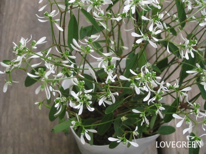 ユーフォルビア・ダイアモンドフロストは夏の暑さに強く、春から秋まで長い間白い繊細な小花を咲かせます。花に見える部分はじつは苞(ほう)と呼ばれる花のすぐ下の葉で、本当の花は苞の中心にさらに小さく咲いて目立ちません。草丈・樹高 は30~40cmほど。  低木であるのにかかわらず、寒さに弱いので一年草扱いされていることが多いです。暖地では屋外で冬越しできることもあります。  ユーフォルビア・ダイアモンドフロストは、真夏の高温期には半日陰になるくらいの場所の方が美しく育ちます。茎を切ると白い液が出ます。かぶれやすい人は注意が必要です。触ったときはすぐに手を洗いましょう。