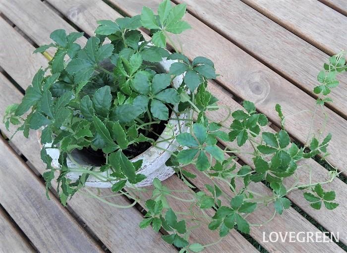 シュガーバインは、ブドウ科の半耐寒性多年草。みずみずしい茎をつる状に伸ばし、可愛い葉をつけます。室内の明るい場所で育てることもできますが、暖かい季節は屋外の半日陰で寄せ植えに使うこともできます。