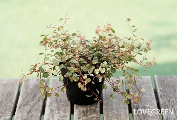 ワイヤープランツ・スポットライトは、ニュアンスカラーの小さな丸い葉が可愛いカラーリーフ。ふんわりと横に広がりながら育ち、寄せ植えに使うと周りの草花を優しく引き立てます。その名のとおり、細いワイヤーの様な赤茶色の茎が特徴的です。  日なたから半日陰を好み、乾燥に弱い性質があります。ある程度の耐寒性はあるので、東京以西では屋外で越冬することができますが、霜に当たると葉が落ちることがあります。根が生きていれば短く刈り込んでおくと春にまた芽吹きます。