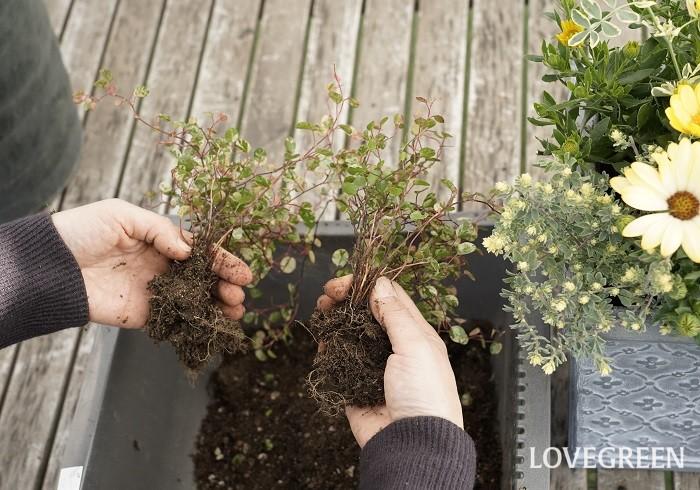 ワイヤープランツ・スポットライトは、葉に白、クリーム色、ピンク色の斑がマーブル状に入っているので、寄せ植えに使うと明るくオシャレな雰囲気になります。株分けして寄せ植えにちりばめて使うのもおすすめです。