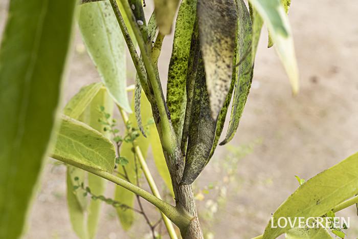 すす病の特徴は、植物の葉や茎に現れる黒い粉のようなものです。これが煤(すす)に見えることから、すす病と呼ばれています。