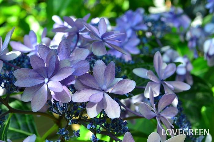 最近新しく登場するガクアジサイの中で人気なのが、装飾花の部分が八重咲のガクアジサイ。ガクアジサイの控えめな雰囲気に少し華やかさを加えた見た目が人気です。